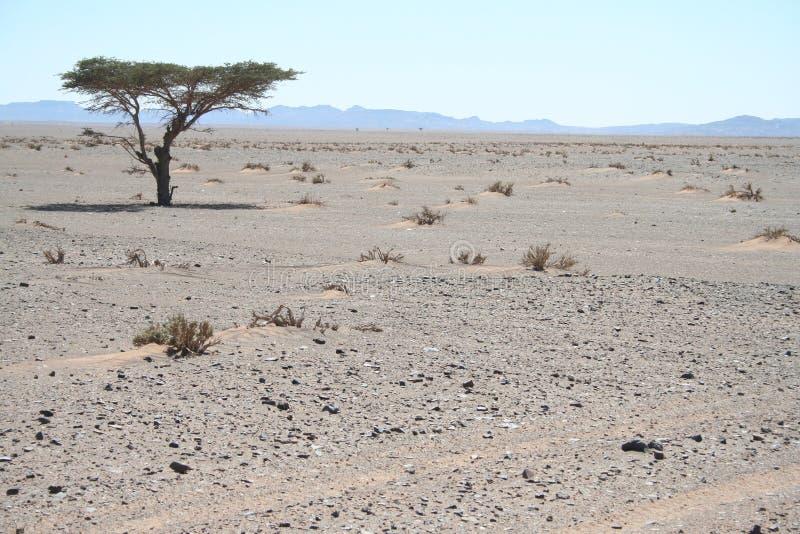 Árvore apenas no deserto fotos de stock royalty free