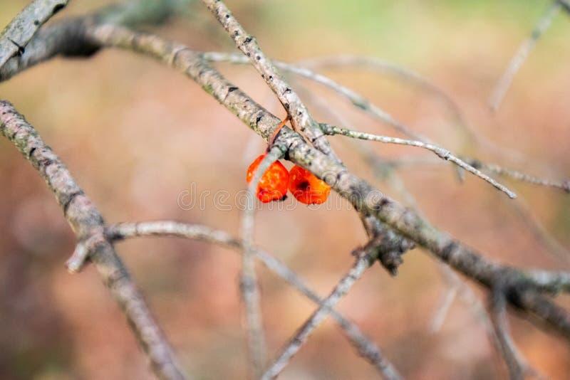 Árvore ascendente próxima com frutos alaranjados imagem de stock royalty free