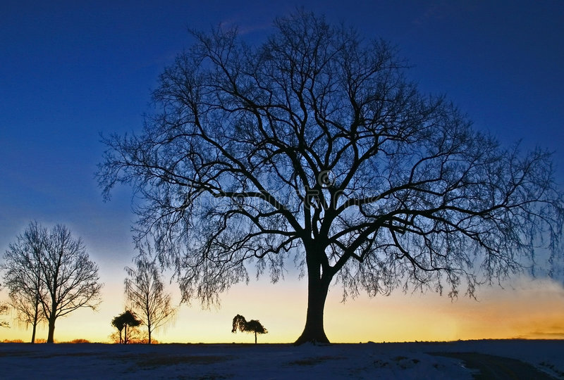 Árvore azul fotografia de stock royalty free