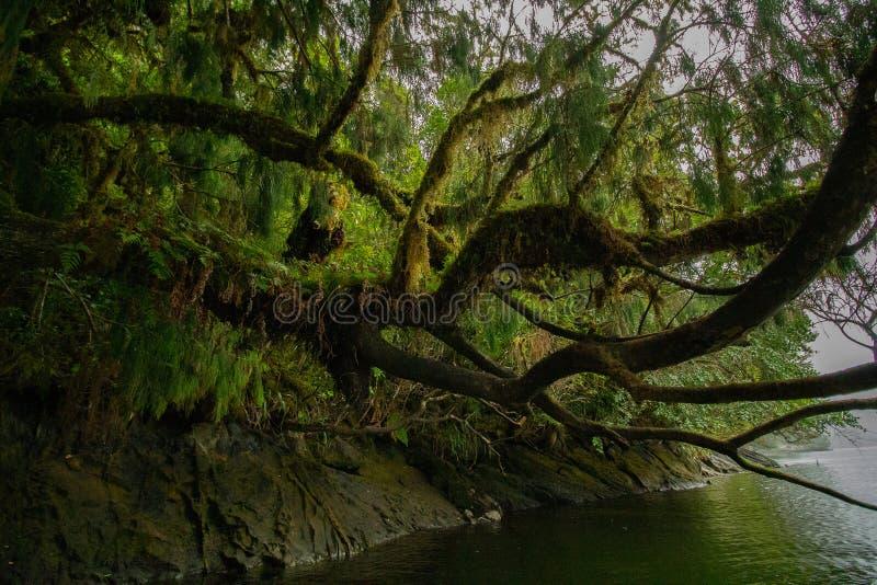 Árvore bonita coberta no musgo que pendura sobre a água imagens de stock royalty free