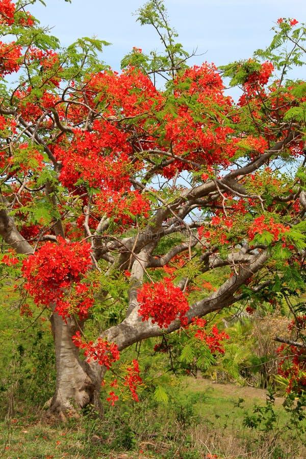 Árvore bonita, com as flores vermelho-alaranjadas brilhantes, conhecidas como 'a árvore de Natal' nos trópicos fotos de stock
