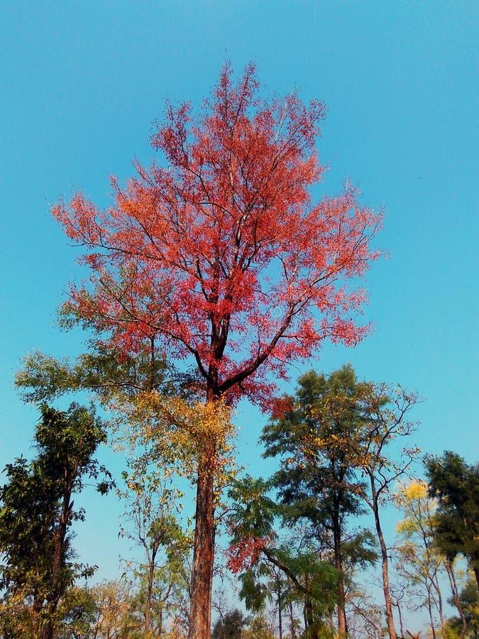 Árvore bonita com folhas vermelhas fotos de stock royalty free