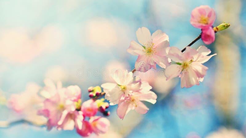 Árvore bonita da flor Cena da natureza com o sol no dia ensolarado Apenas chovido sobre Fundo borrado sumário na primavera fotos de stock royalty free