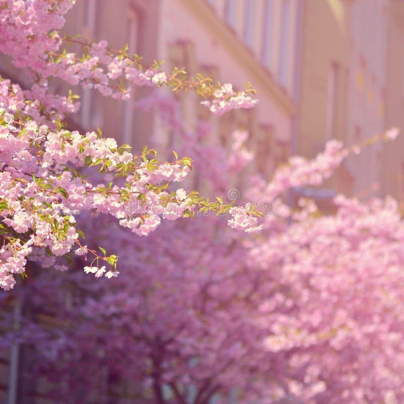 Árvore bonita da flor Cena da natureza com o sol no dia ensolarado Apenas chovido sobre Fundo borrado sumário na primavera imagens de stock royalty free