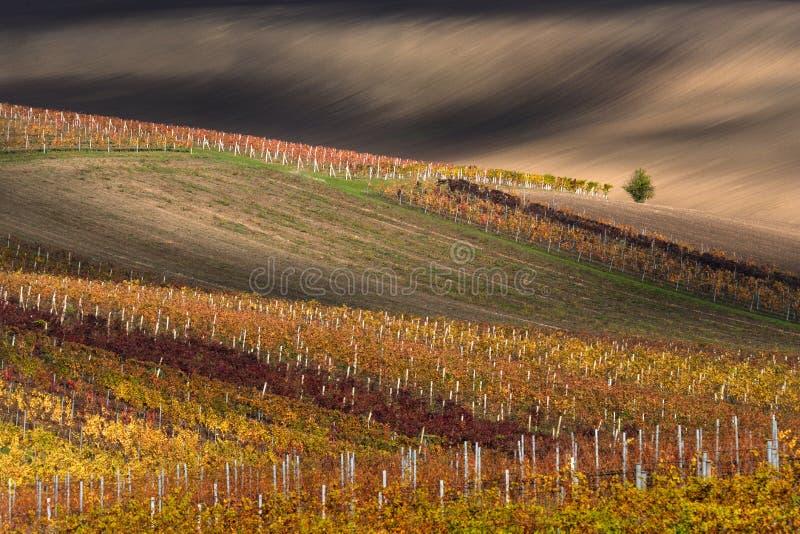 Árvore bonita de Autumn Rural Landscape With Lonely e Autumn Vineyards Rows colorido fantástico Autumn Colorful Vineyards Of Czec fotos de stock royalty free