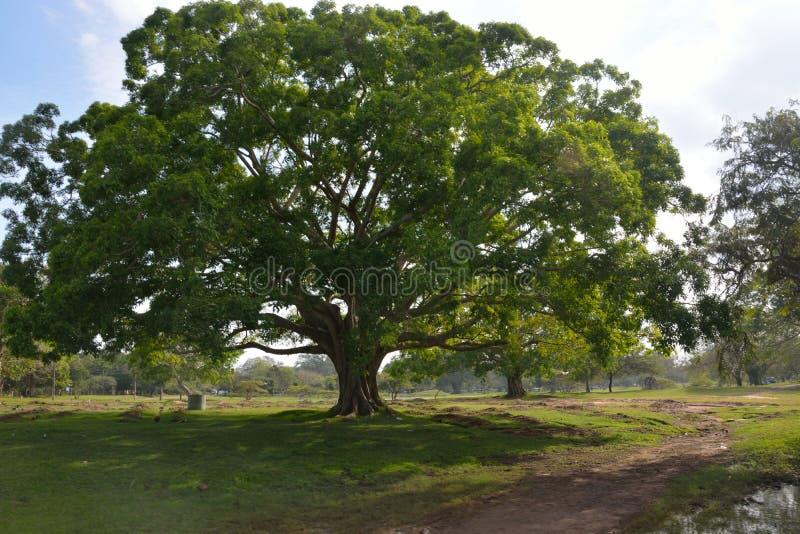Árvore bonita de Bodhi imagens de stock royalty free