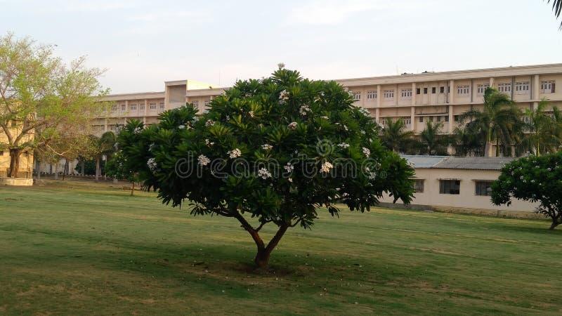 A árvore bonita do chafa na fragrância de espalhamento da manhã imagem de stock