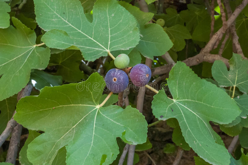 Árvore bonita do figo doce imagens de stock