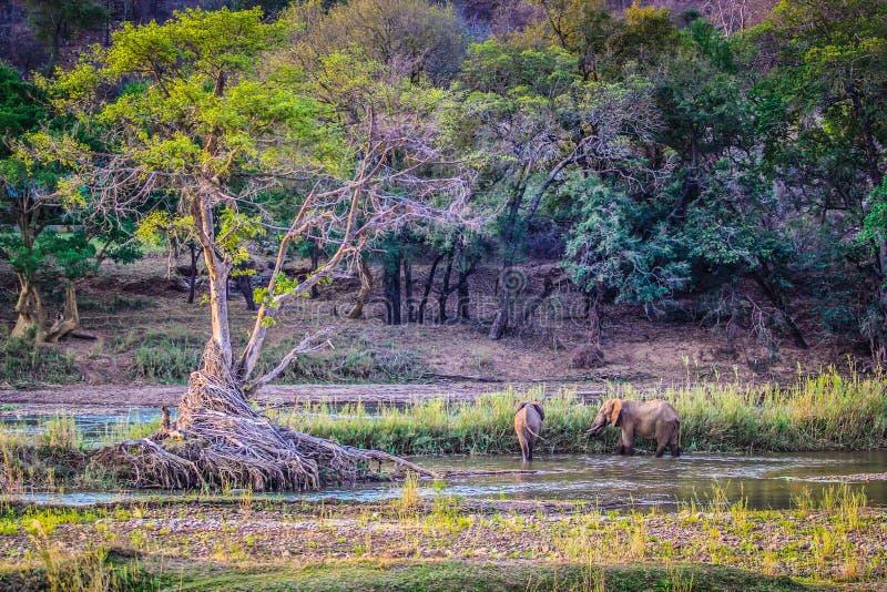Árvore bonita em um safari com os elefantes do bebê que regam em um lago pequeno em África do Sul imagem de stock