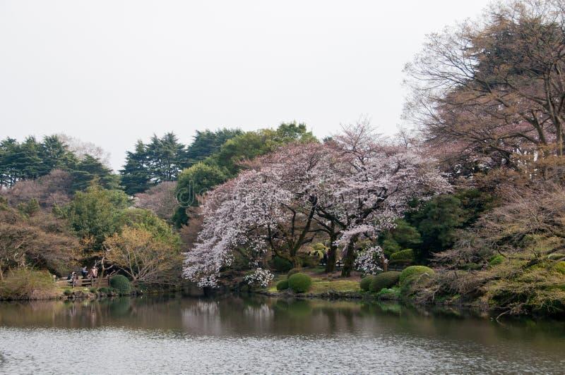 Árvore bonita grande de sakura da flor de cerejeira do rosa da flor completa com Ca fotografia de stock royalty free