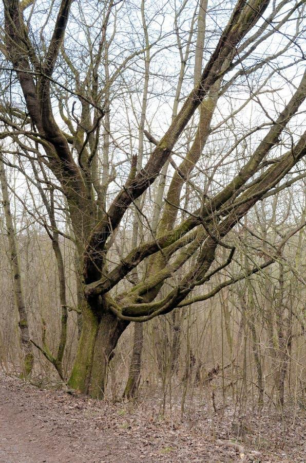 Árvore bonita velha de uma Fada-cauda imagens de stock