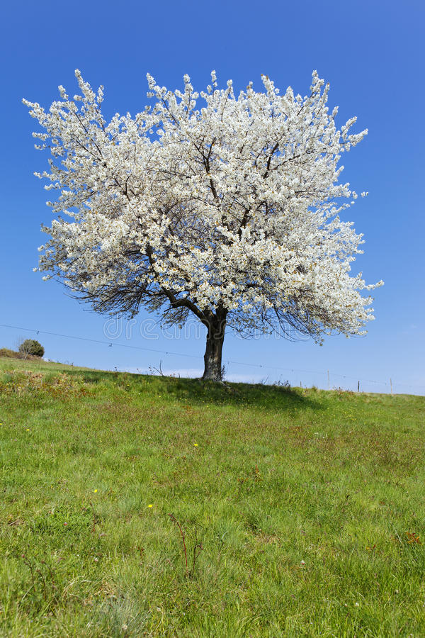 Árvore branca fotografia de stock