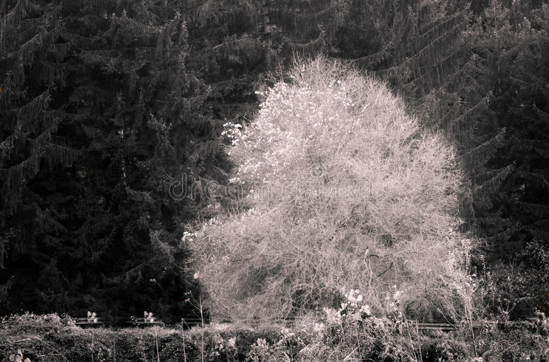 Árvore branca imagem de stock royalty free