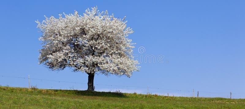 Árvore branca panorâmico fotografia de stock royalty free
