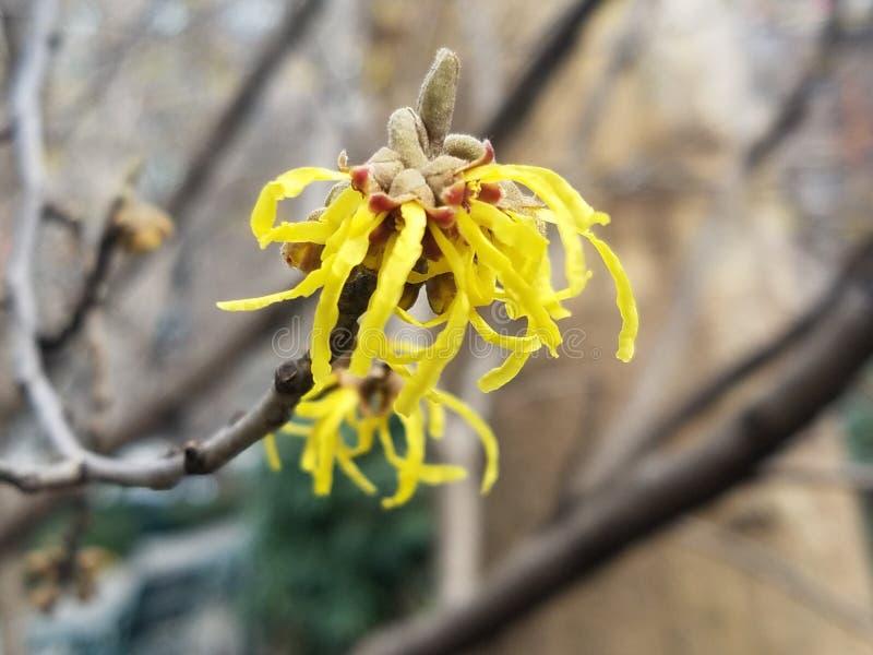 Árvore côr de avelã de bruxa com flores amarelas fotografia de stock royalty free