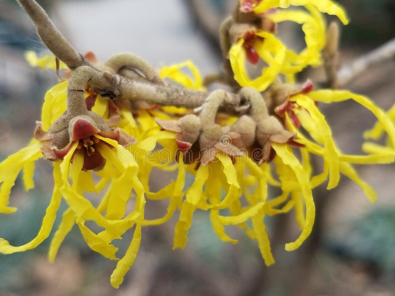 Árvore côr de avelã de bruxa com flores amarelas fotos de stock