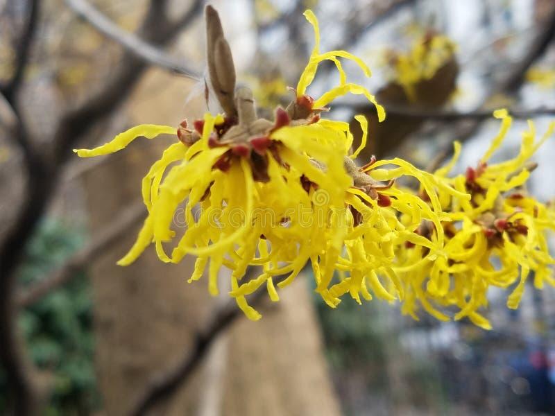 Árvore côr de avelã de bruxa com flores amarelas imagem de stock royalty free