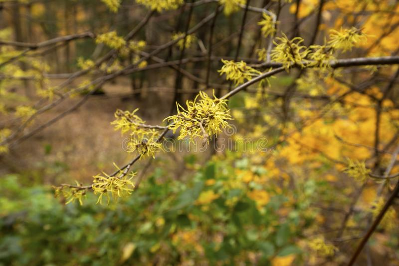 Árvore côr de avelã de florescência atrasada de bruxa em madeiras do norte de Ohio foto de stock royalty free