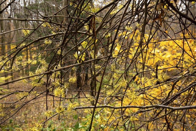 Árvore côr de avelã de florescência atrasada de bruxa em madeiras do norte de Ohio imagem de stock royalty free