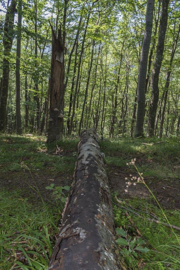 Árvore caída após um relâmpago poderoso na maneira à cabana de Eho A montanha nos Balcãs centrais surpreende com sua beleza, fres fotografia de stock royalty free