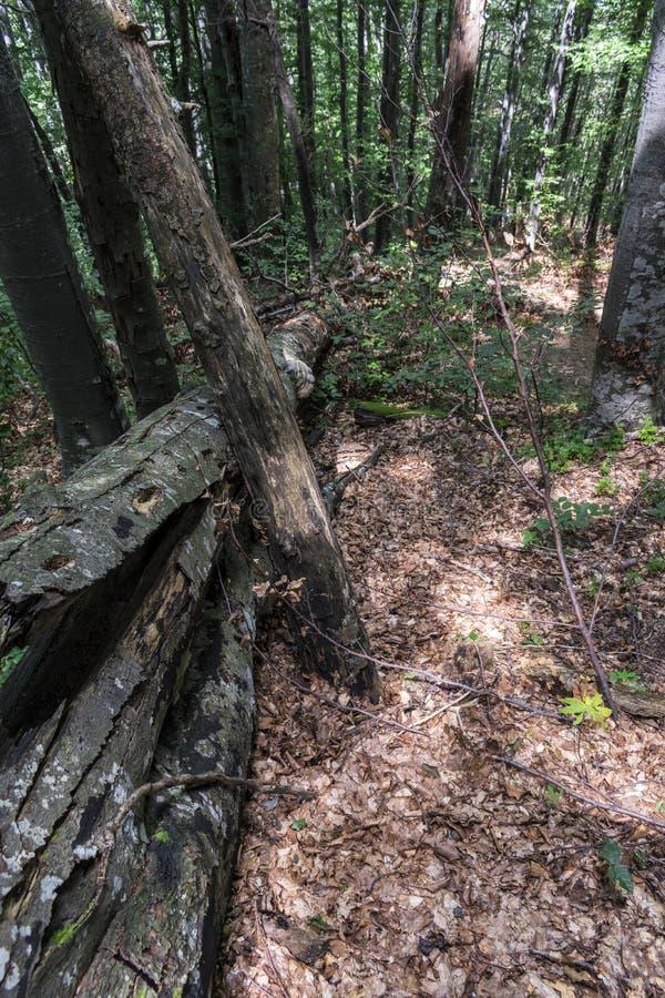 Árvore caída após um relâmpago poderoso na maneira à cabana do stena de Kozya A montanha nos Balcãs centrais surpreende com seu b imagem de stock