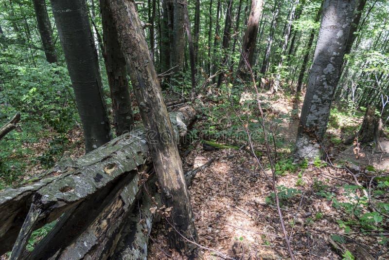 Árvore caída após um relâmpago poderoso na maneira à cabana do stena de Kozya A montanha nos Balcãs centrais surpreende com seu fotos de stock
