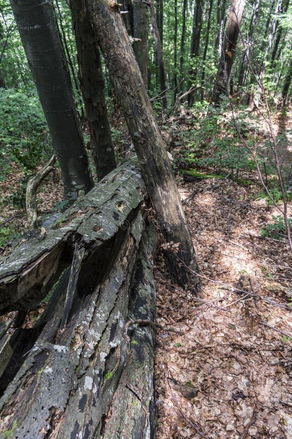 Árvore caída após um relâmpago poderoso na maneira à cabana do stena de Kozya A montanha nos Balcãs centrais surpreende com seu imagem de stock