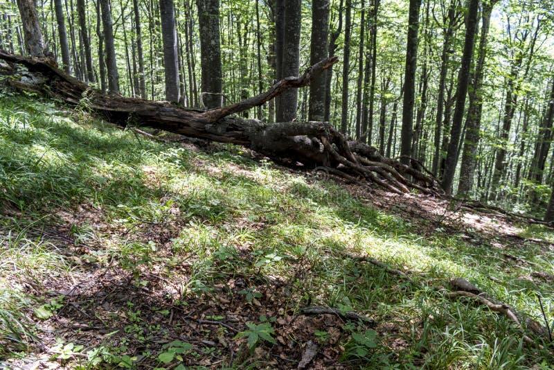 Árvore caída após um relâmpago poderoso na maneira à cabana do stena de Kozya A montanha nos Balcãs centrais surpreende com seu imagens de stock