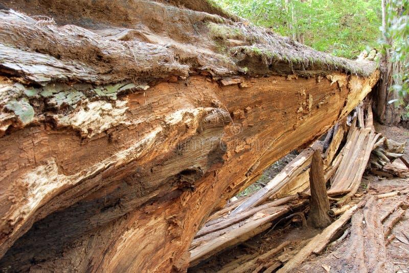 Árvore caída do Redwood fotografia de stock