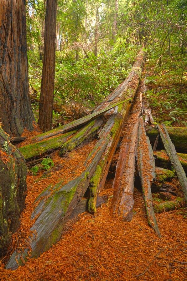 Árvore caída do redwood na terra imagens de stock