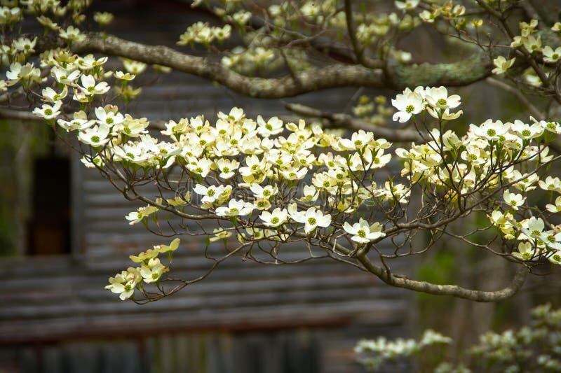 Árvore & cabana rústica de madeira de corniso foto de stock royalty free