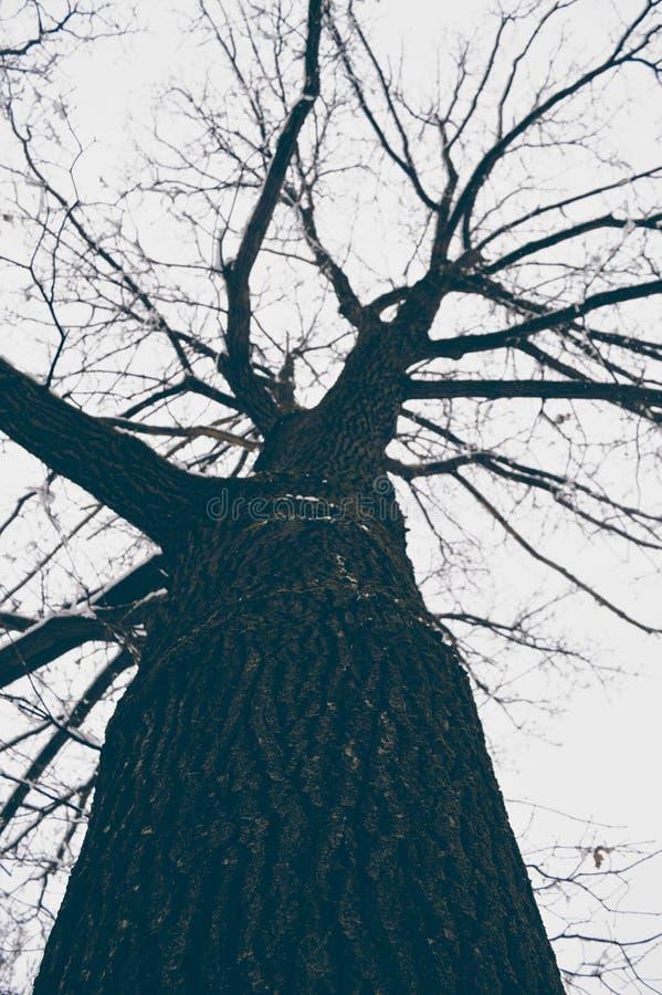 Árvore calva no inverno fotografia de stock royalty free