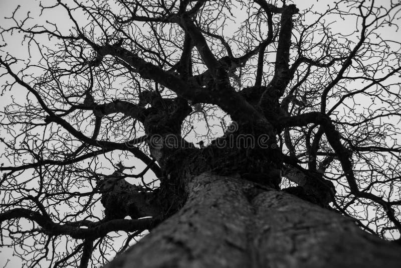 Árvore calva no inverno imagem de stock