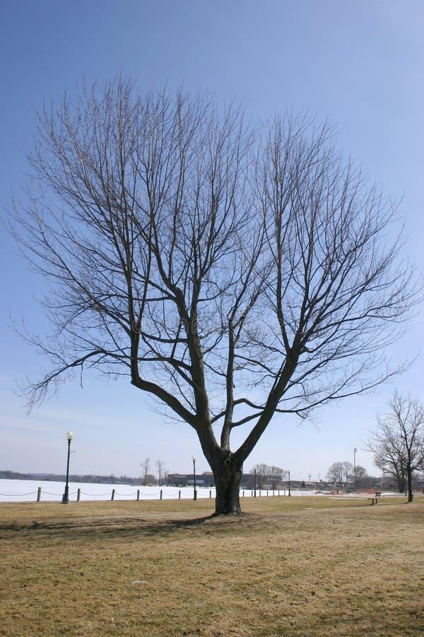 Árvore Canadense Imagens de Stock