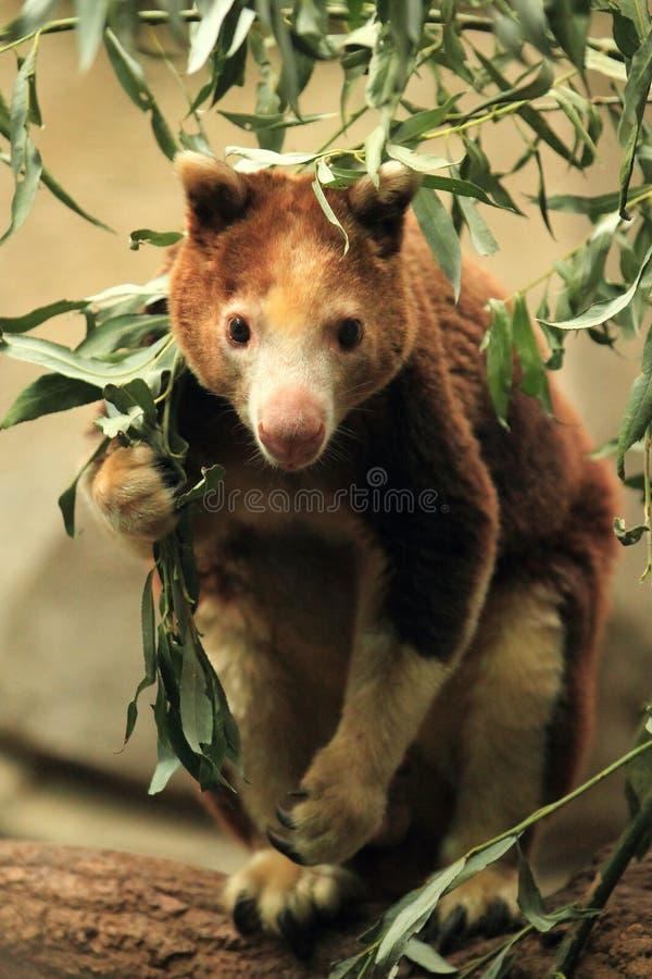 Árvore-canguru de Huon imagem de stock