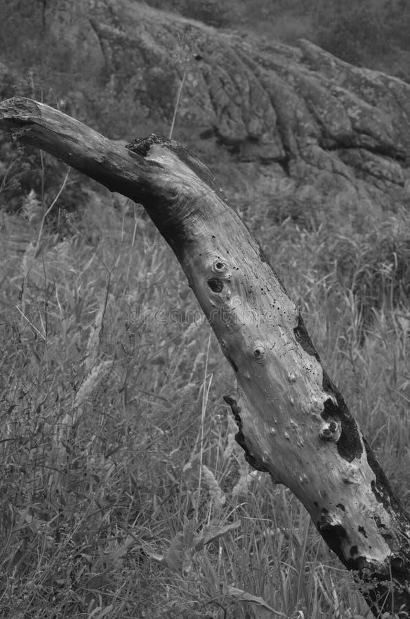 Árvore carbonizada seca na parte inferior da garganta de Aktovsky imagens de stock