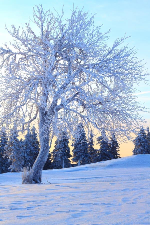 Árvore coberta com o Rime imagem de stock royalty free