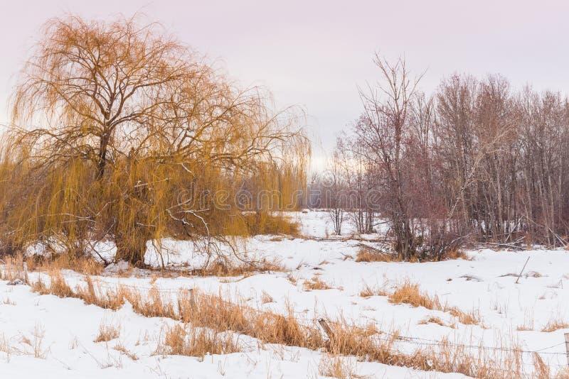 Árvore coberto de neve do prado e de salgueiro no por do sol imagens de stock royalty free