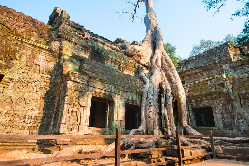 A árvore cobriu o templo no ` s Angkor Wat Archaeological Park de Camboja fotografia de stock royalty free