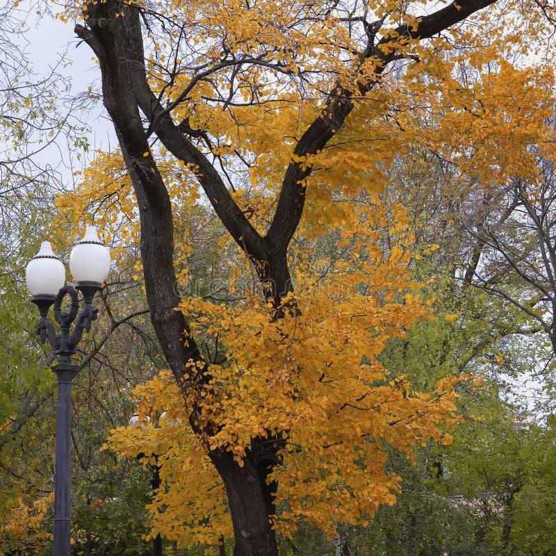 Árvore colorida brilhante do outono no parque, ramos com folhas amarelas e uma lanterna da cidade imagem de stock royalty free