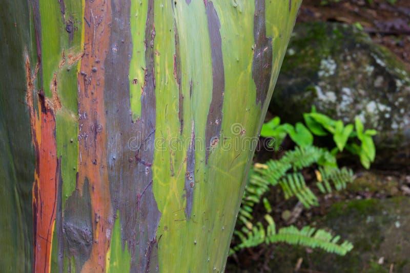 Árvore colorida na floresta tropical do nacional do EL Yunque fotografia de stock