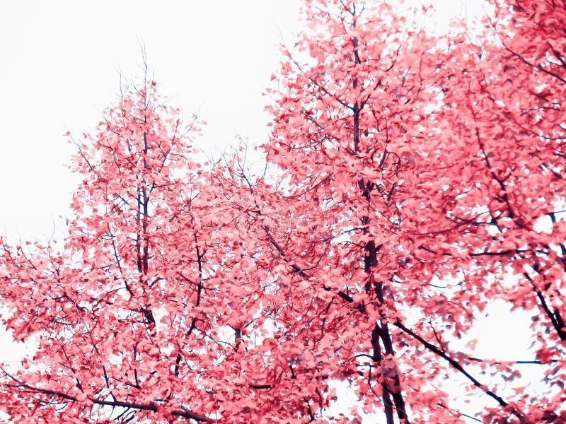 Árvore com as folhas do rosa no tempo de mola foto de stock royalty free