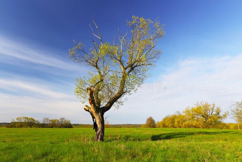 Árvore com as folhas do verde no campo fotografia de stock royalty free