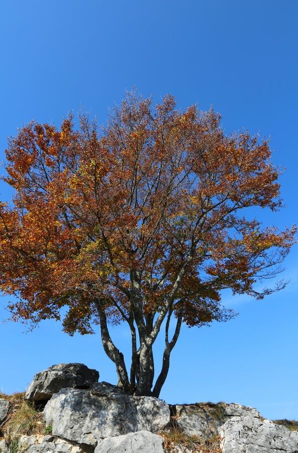 Árvore com as folhas secadas na queda e no céu azul imagens de stock royalty free