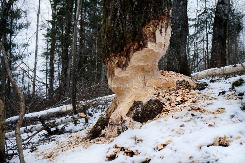 Árvore com as marcas dos dentes do castor imagem de stock