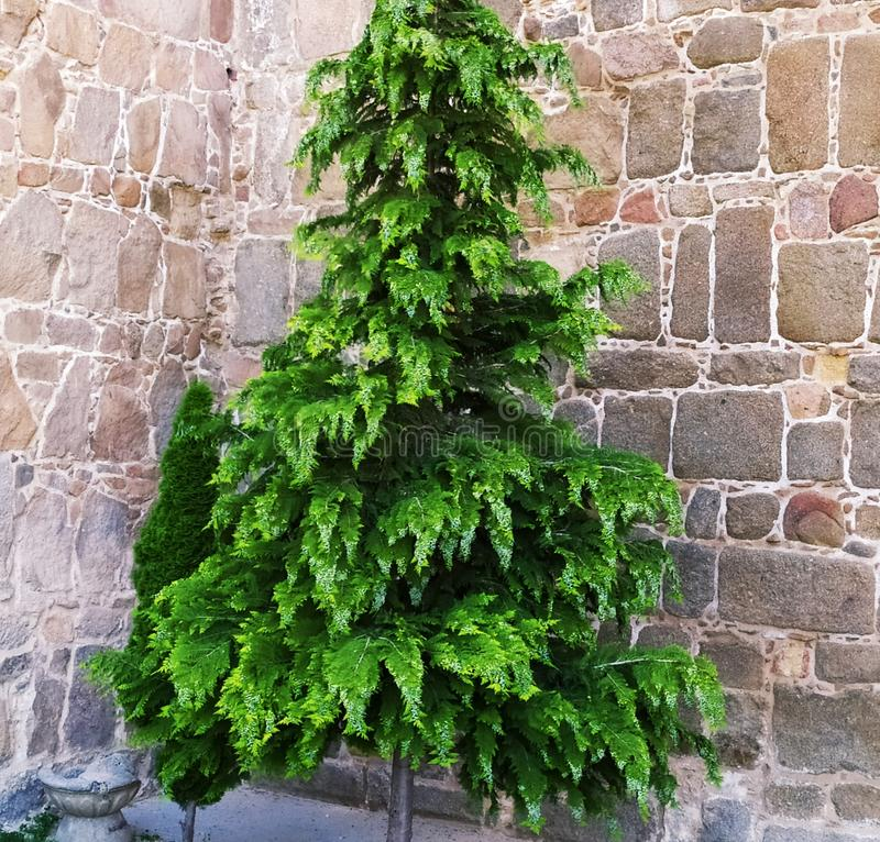 Árvore com folhas verdes e frondoso agradáveis Parede de tijolo imagens de stock