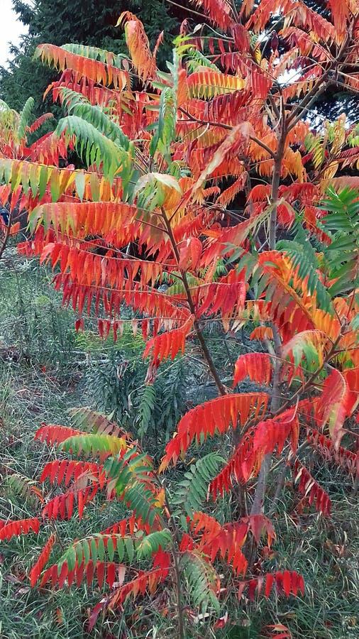 Árvore com folhas vermelhas fotografia de stock royalty free