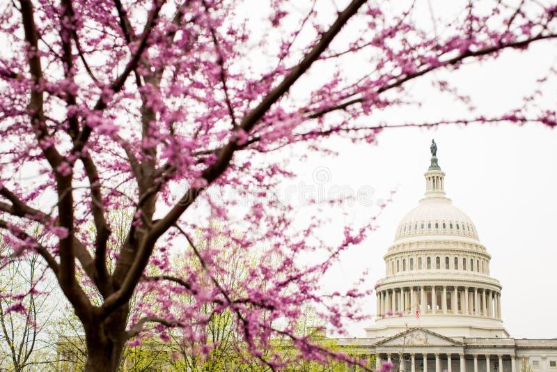 Árvore com lindas flores cor-de-rosa floridas com o Capitólio dos Estados Unidos ao fundo imagem de stock