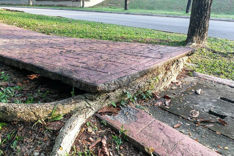 A árvore com raizes grandes destrói quebrou o pavimento da passagem de dano fotografia de stock