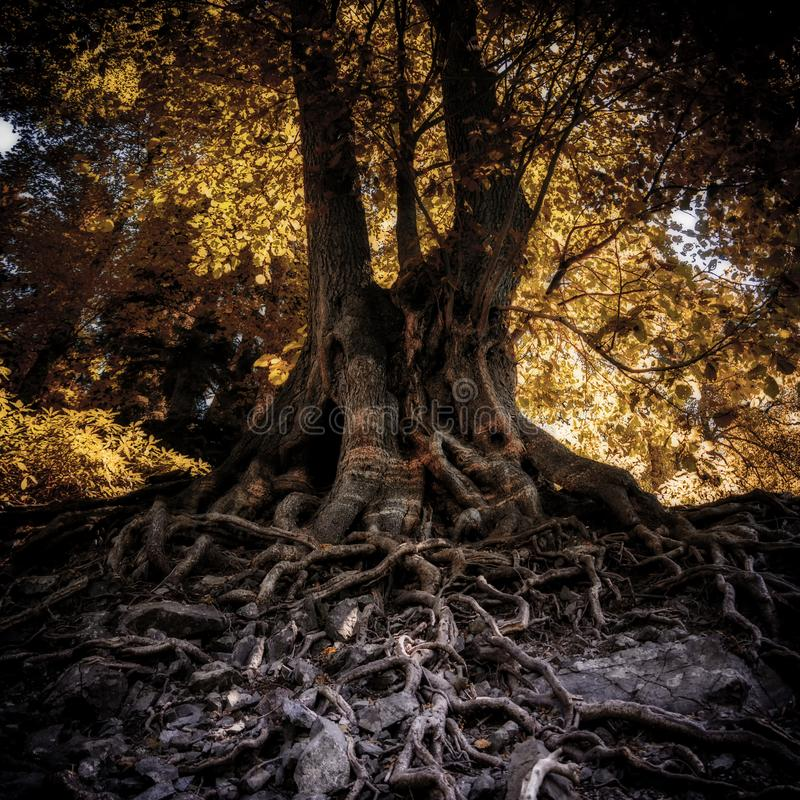 Árvore com raizes longas imagens de stock royalty free